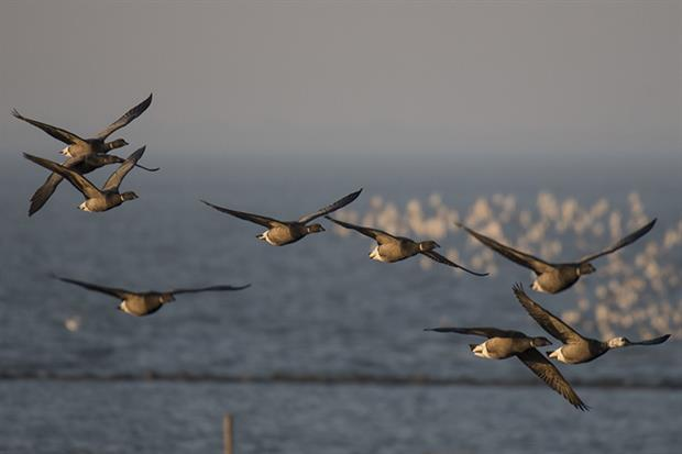 Brent geese: Solent is home to 10% of the global population (picture: Peter Prokosch, Flickr)