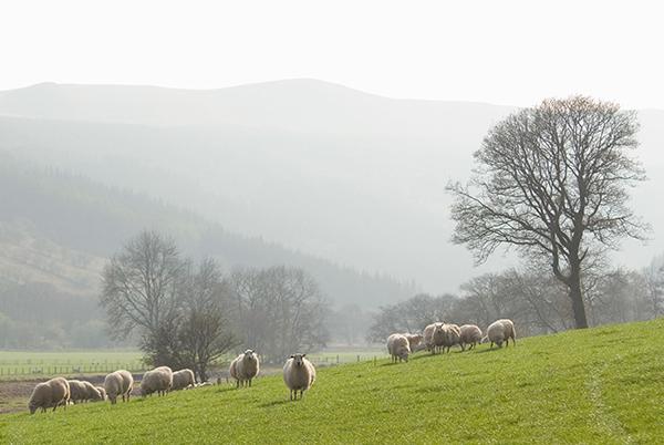 Sheep grazing in farmland