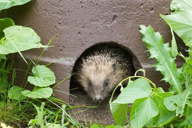 Hedgehog: guidance says relative small features can achieve important benefits for wildlife (Photo by: David Tipling/Universal Images Group via Getty Images)