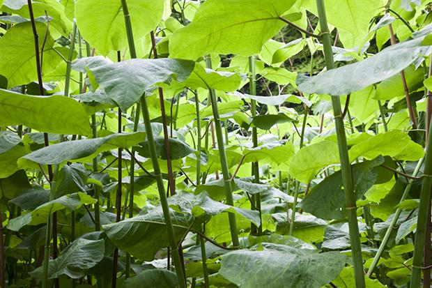 Knotweed: risk of damage from Japanese knotweed is being overplayed by mortgage lenders