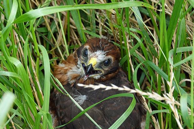 Hen harriers face persecution by wildlife criminals. Image by A Beijeman from Pixabay