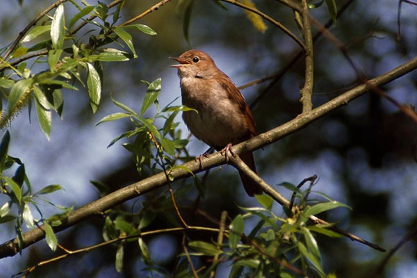 Nightingale on a branch