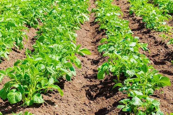 Potatoes growing in field