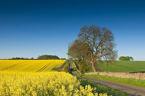 Field of rape seed