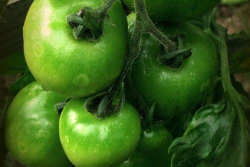 tomato cultivation - image:Antoinette Janssen