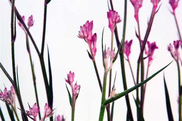 Anigozanthos 'Pink Pearl'