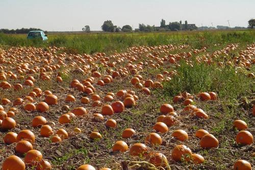 Pumpkins ready for harvest - image: David Bowman