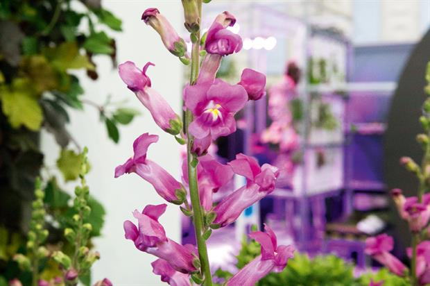 Antirrhinum Pretty in Pink