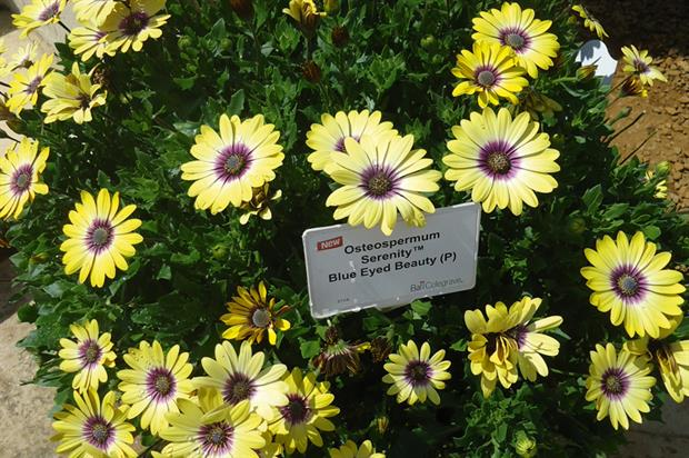 Osteospermum Serenity: popular with visitors