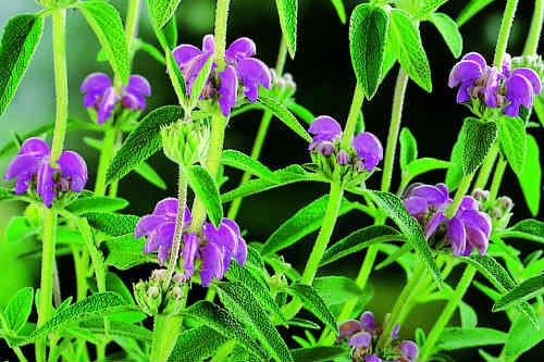 Phlomia Russelliana - image: Floramedia