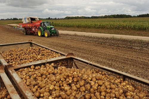 Amflora potatoes being harvested in Germany - image: BASF Plant Science