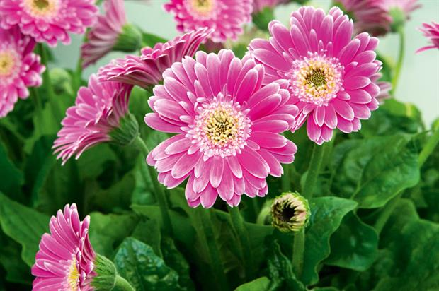 Gerbera Garvinea Sweet Surprise