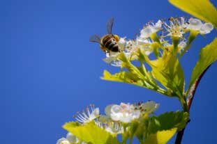 The honey bee is under threat - photo: Istockphoto