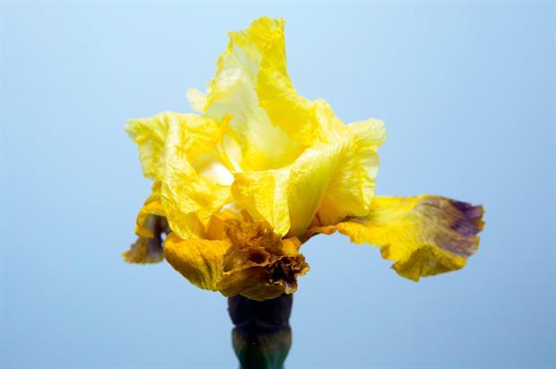 Iris 'Poiver Rouge'