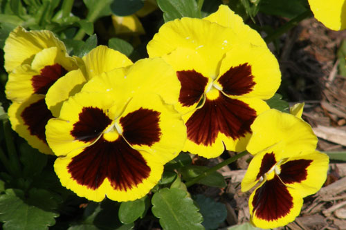 Pansies: high demand this year - image: HW