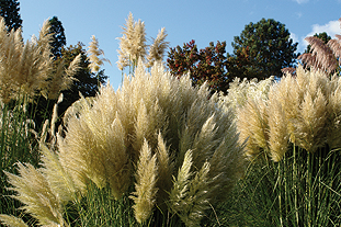 Cortaderia selection at RHS Wisley - image: Knoll Gardens