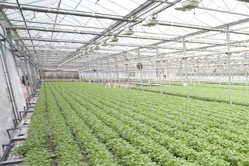 Coriander crop - VHB