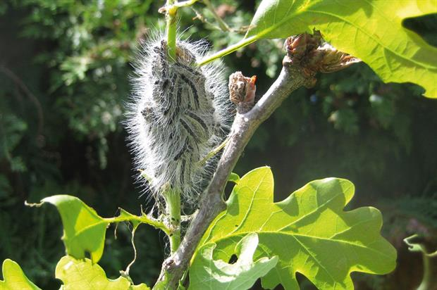 Caterpillars: spraying programme has not been as helpful as hoped - image: Forestry Commission