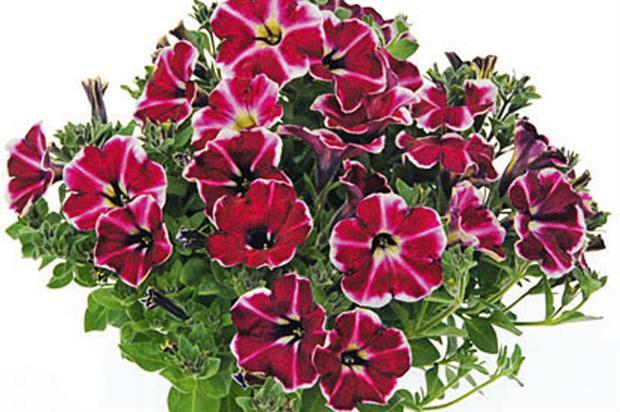 Petunia 'Cranberry Blast'  - image: Kientzler