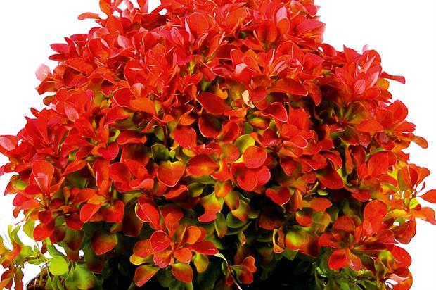 Berberis thunbergii 'Ruby Star'