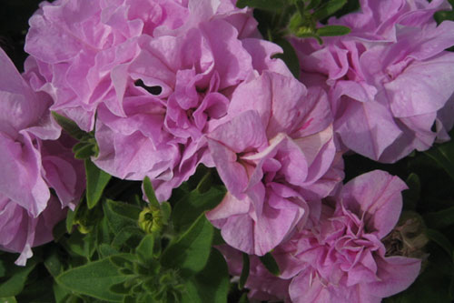 Petunia 'Raphaella'  - image: David Kerley