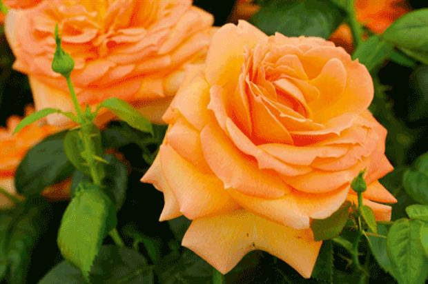 Harkness: breeding programme - image: Harkness Roses