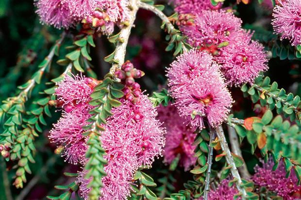 M. alternifolia - image: Floramedia