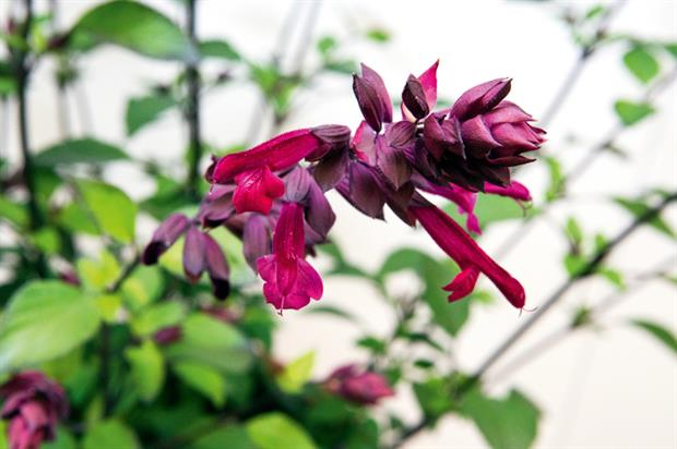 Salvia 'Love & Wishes'
