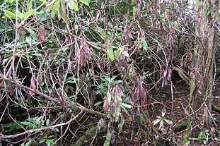 Phytophthora: funding will mainly help the National Trust as it owns most at-risk sites. Photo: Forestry Commission