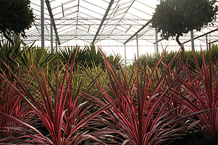 The winter chill affected exotic plants such as Cordyline both in gardens and nurseries - image: HW