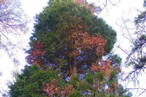 The effects of Phytophthora lateralis - image: Forestry Commission