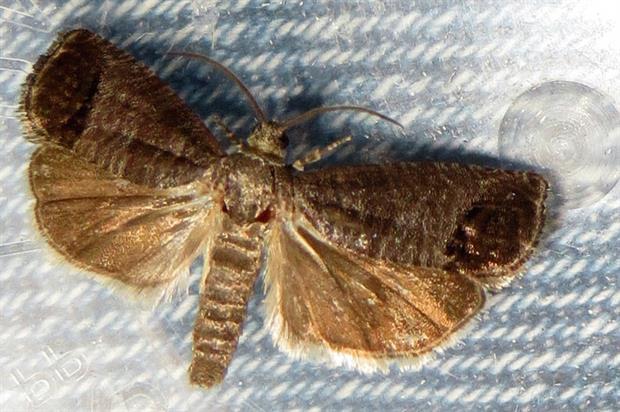 Codling moth: pest for top fruit - image: David Short