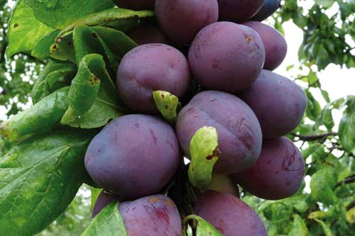 Plums...market in critical state - image: Pershore
