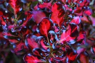Coprosma Pacific Sunset wins at Essen: Image John Woods Nurseries