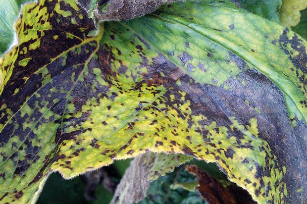 Leaf nematode damage - image: Dove Associates