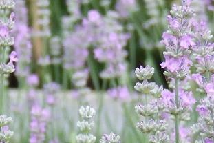 Lavender is HTA's plant of the month for May - Image: HTA