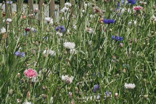 Cornflower Classic Fantastic - image: Suttons Seeds