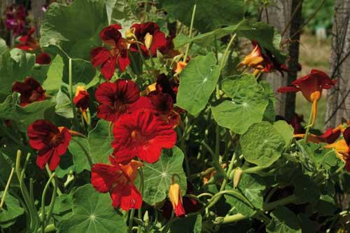 Nasturtium 'Crimson Emperor' - image: Suttons Seeds