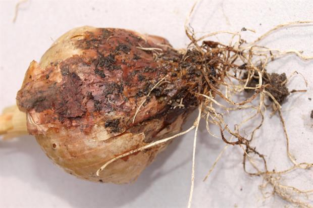 Symptoms of Botrytis (Onion neck rot) - image: Geoff Dixon