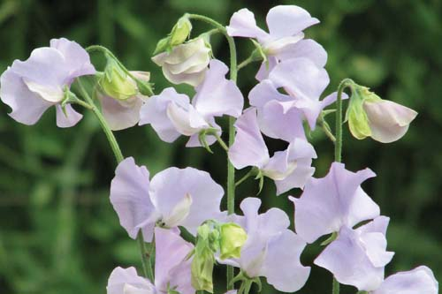 Sweet Pea Chelsea Centenary - image: Mr Fothergill's