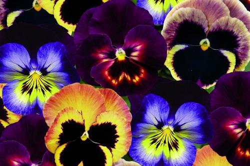 Matrix pansies - image: Ball Colegrave