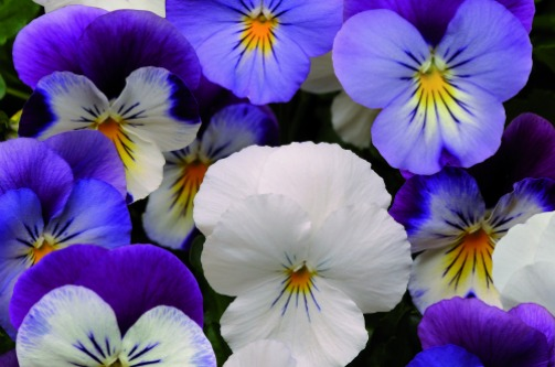 Plentifall' pansy - 'Blueberry Frost Mixed' - image: Ball Colegrave