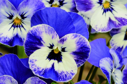 Sorbet XP Viola - 'Delft Blue' - image: Ball Colegrave