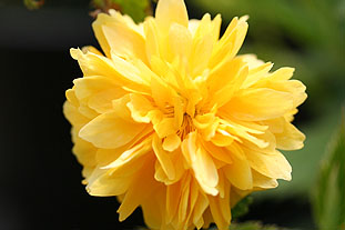 Kerria japonica 'Pleniflora' AGM - photo: St Bridget Nurseries