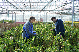 BCP Certis' Sampson and Darby's technican manager Myuzelefov inspect crops in the nursery for pests and diseases - photo: HW