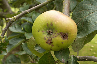 There are numerous new fungicides on the way that will control apple scab - photo: Brian Lovelidge