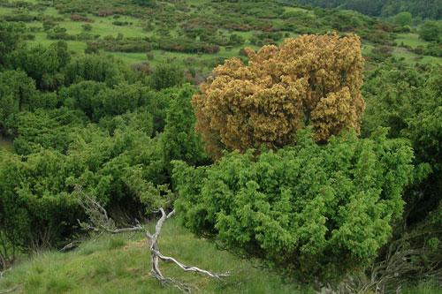 Disease hits junipers - image: Martin Furness, Natural England