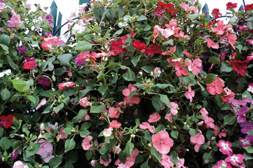 Impatiens: Downy mildew risk