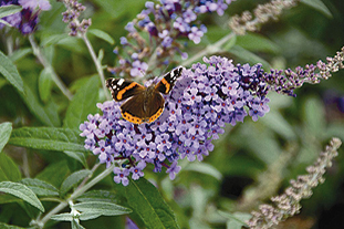 Buddleja 'Buzz' is being promoted by Kernock Park Plants at Woking Nursery Exhibition - image: Woking Nurseries Exhibition