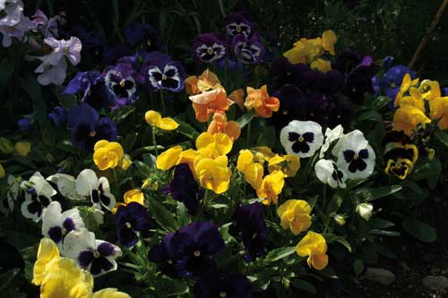 Strong pansy sales - Image: Pansy Muskateers from Sutton Seeds